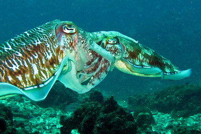 Mating cattlefish