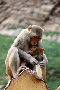 Loving monkey mother at Galta Temple